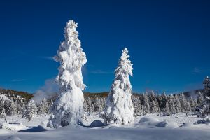 C-0494 Ghost Trees, Yellowstone National Park
