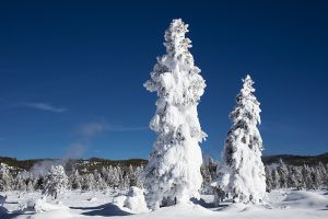 C-0497 Ghost Trees, Yellowstone National Park