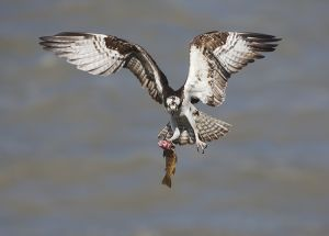 A0950 Osprey with Fish