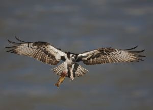A-0954 Osprey with Fish