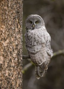 A-0909 Great Gray Owl