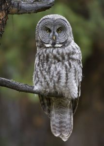 A-0910 Great Gray Owl