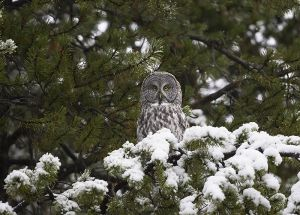 A-0918 Great Gray Owl