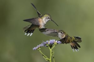 A-1972 Broad-tailed Hummingbirds-Females