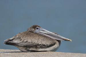 A-1971 Brown Pelican
