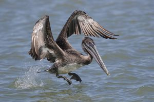 A-1970 Brown Pelican