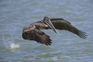 A-1969 Brown Pelican