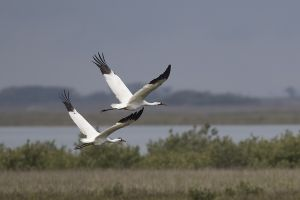 A-1958 Whooping Cranes