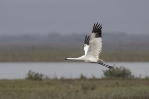 A-1957 Whooping Crane
