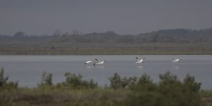 A-1956 Whooping Cranes
