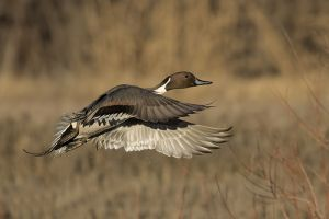 A-2019 Northern Pintail