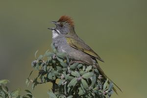 A-1977 Green-tailed Towhee