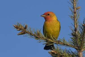 A-1987 Western Tanager