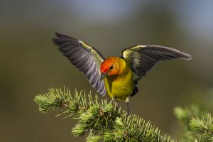 A-1996 Western Tanager