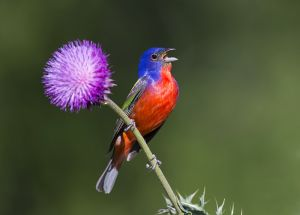 A-1997 Painted Bunting