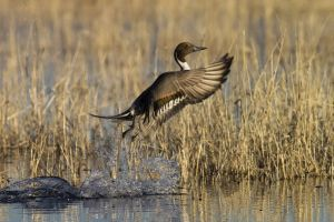 A-1999 Northern Pintail