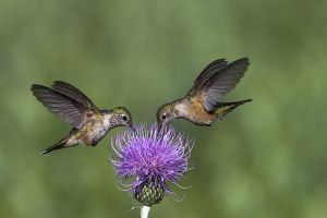 A-1808 Broad-tailed Hummingbirds-Female
