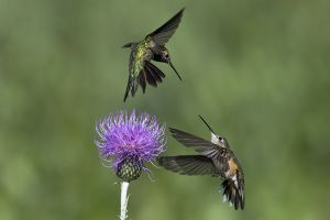 A-1812 Broad-tailed Hummingbirds- Females
