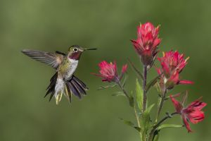 A-1828 Broad-tailed Hummingbird