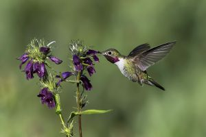 A-1834 Broad-tailed Hummingbird