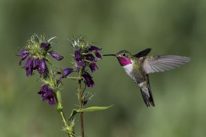 A-1835 Broad-tailed Hummingbird