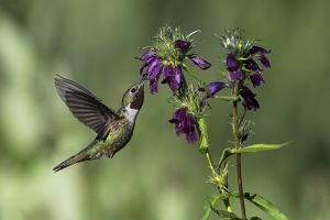 A-1838 Broad-tailed Hummingbird
