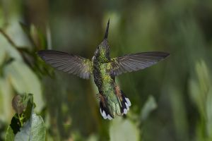 A-1842 Broad-tailed Hummingbird-Female