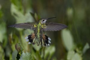 A-2004 Broad-tailed Hummingbird-Female
