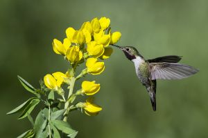 A-1844 Broad-tailed Hummingbird