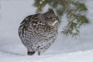 A1850 Ruffed Grouse