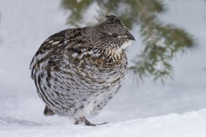 A-1852 Ruffed Grouse