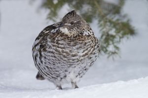 A-1853 Ruffed Grouse