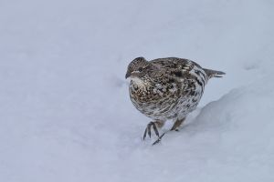 A-1855 Ruffed Grouse