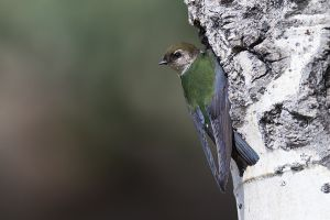 A1856 Violet-green Swallow