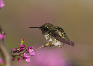 A-2008 Black-chinned Hummingbird