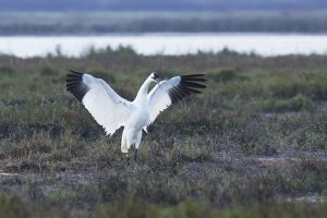 A-1952 Whooping Crane