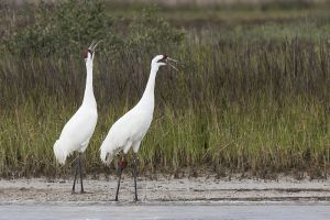 A-1950 Whooping Cranes