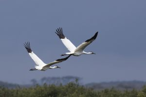 A-1949 Whooping Cranes