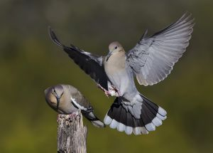 A-1892 White-winged Doves