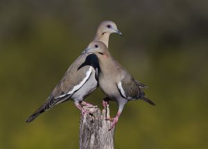 A-1893 White-winged Doves