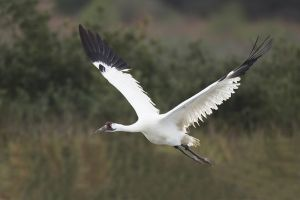 A-1946 Whooping Crane