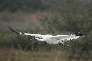 A-1945 Whooping Crane