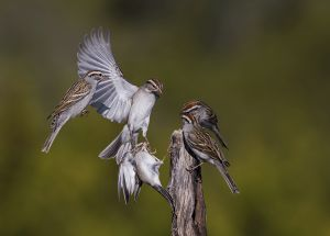 A-1900 Chipping Sparrows