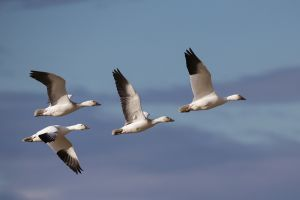 A-2010 Snow Geese