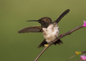 A-1924 Black-chinned Hummingbird