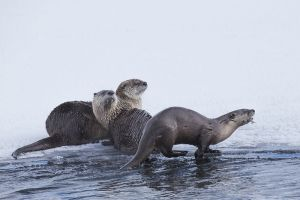 B-0787 River Otters