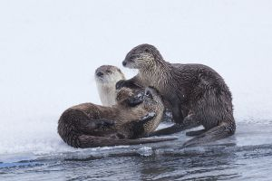 B-0789 River Otters