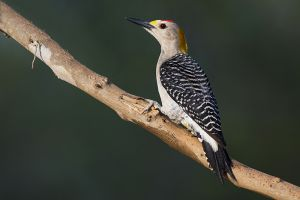 A-1927 Golden-fronted Woodpecker