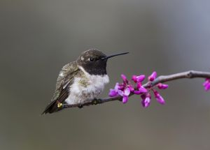 A-1928 Black-chinned Hummingbird