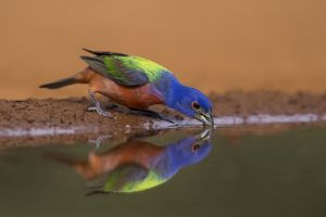A-2013 Painted Bunting